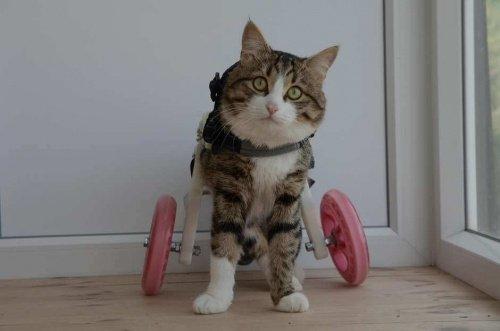 Rexie, Tekerlekli Sandalye Kullanan Kedi