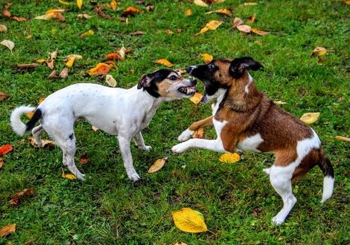 Kavga Eden Köpekleri Nasıl Durdurursunuz