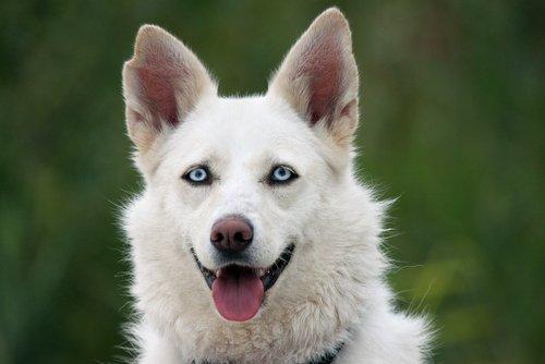 dili dışarıda mavi gözlü köpek