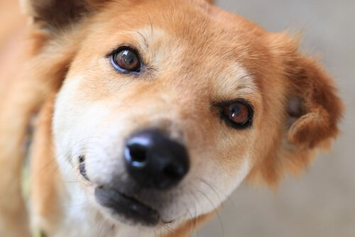 Köpeğinizin Gözyaşı Kanallarını Nasıl Temizlersiniz
