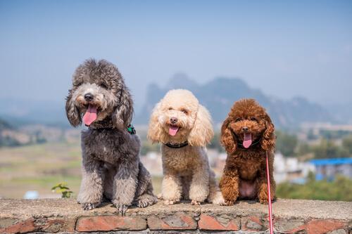 Sekizinci Grup Köpekler: FCI'ye Göre Köpek Irklarının Sınıflandırılması