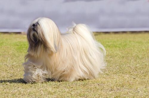 Dokuzuncu Grup Köpekler: FCI'ye Göre Köpek Irklarının Sınıflandırılması