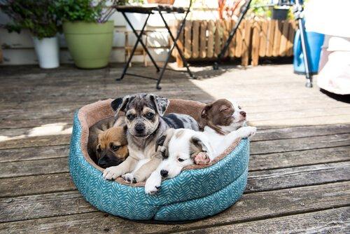 köpek yatağında yavrular