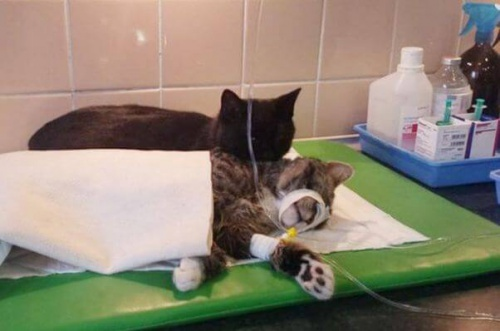 veteriner kedi