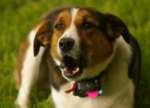 havlama engelleyici kolyesi olan köpek