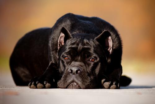 kahverengi gözlü mutsuz köpek