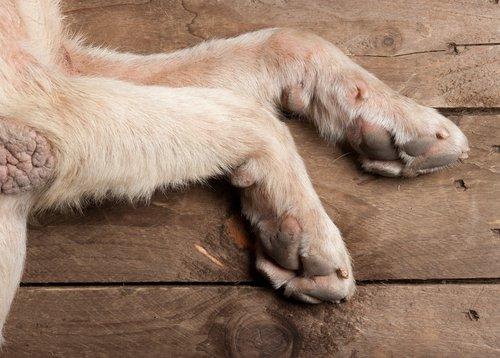 yatan köpek patileri