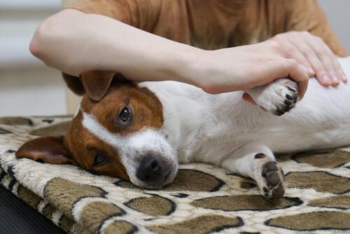 Köpeğinize Masaj Yapmayı Biliyor Musunuz?