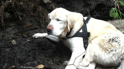 Kör Labrador Retriever Ormanda Bir Hafta Hayatta Kaldı