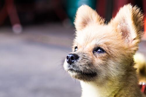 dik kulaklı köpek