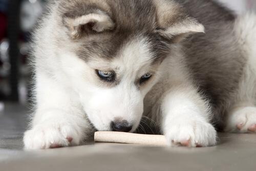 yavru köpek kemik