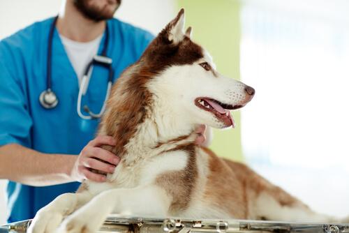 Köpeğinizi Kısırlaştırmanın Artıları ve Eksileri