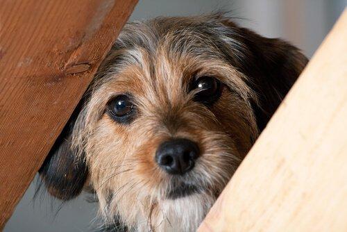 tahta arasından bakan köpek