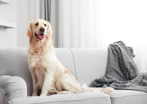evde büyük köpek