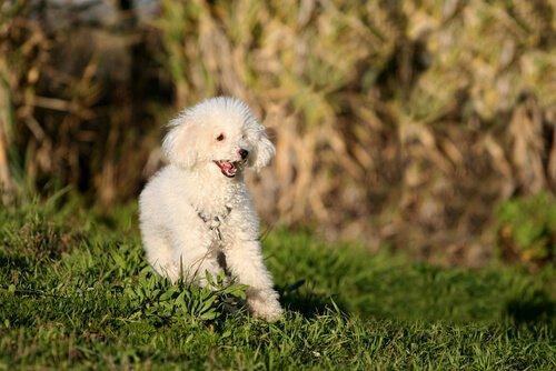 beyaz kaniş köpek