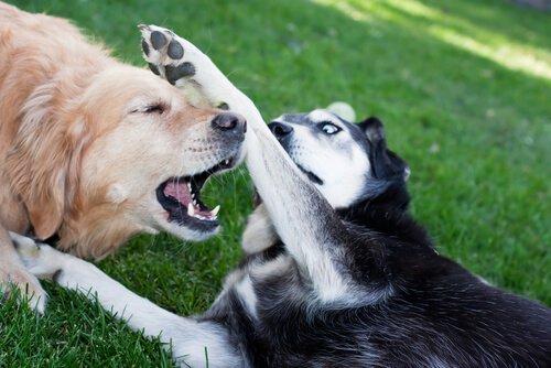 kavga eden iki köpek