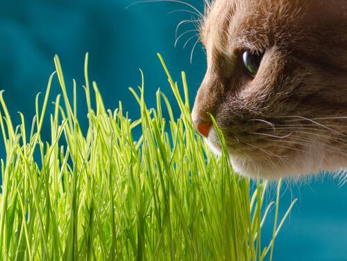 çimenleri koklayan kedi