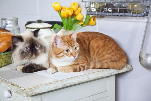 mutfakta iki kedi