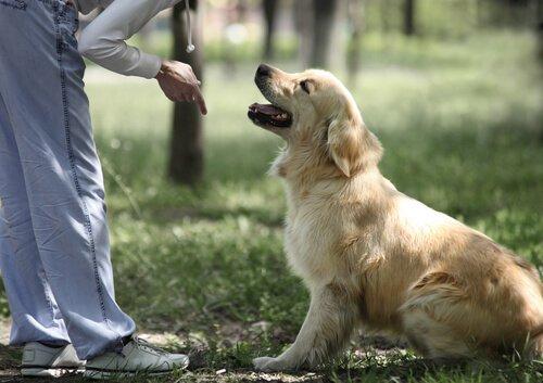 golden retriever köpeğini eğiten insan