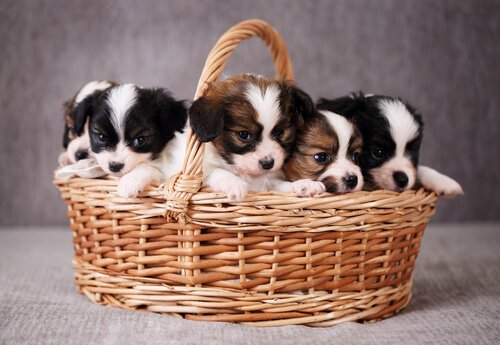 sepet içinde yavru köpekler