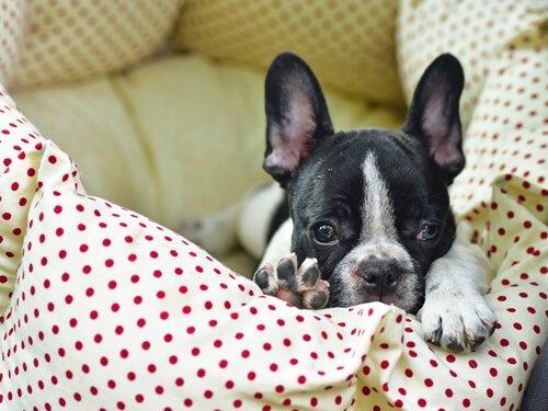 yatağında yatan minik köpek