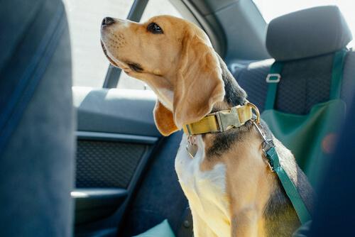 emniyet kemeri takılmış arabada duran bir köpek