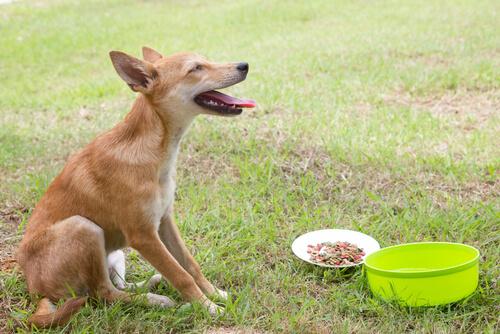 Köpeğinizin Kusması Durumunda Yapılması Gerekenler
