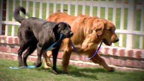 Kör Bir Köpeğin Rehber Köpeği Tarafından Kurtarılışını Anlatan İçinizi Isıtacak Bir Hikaye