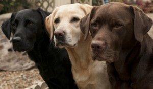 üç labrador köpeği