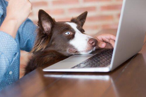bilgisayara bakan köpek
