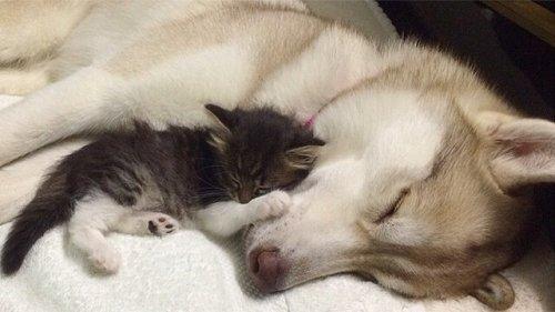 Bir Kediye Annelik Yapan Bir Sibirya Kurdu, Lilo