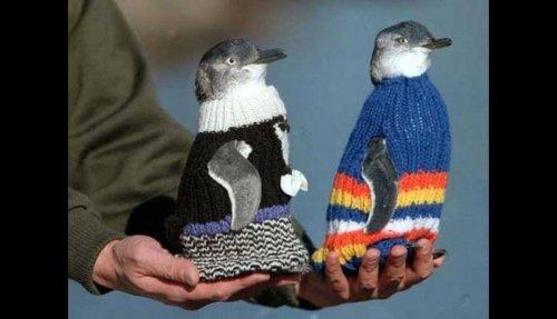 Kazak giymiş penguen