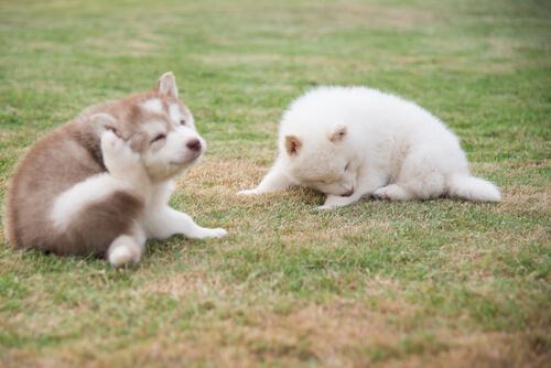 kaşınan küçük köpekler