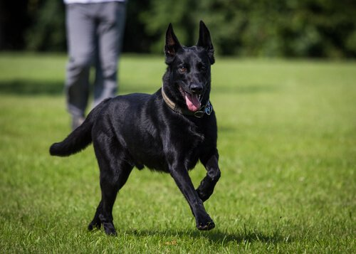 çimde koşan siyah köpek