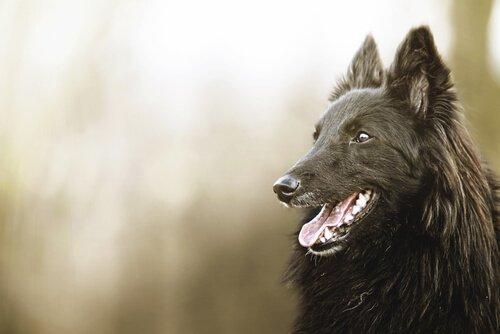 kara köpek