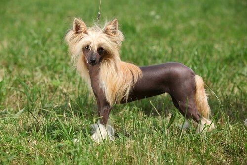 tüysüz çin köpeği