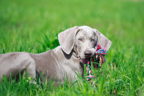 ağzında oyuncağıyla köpek