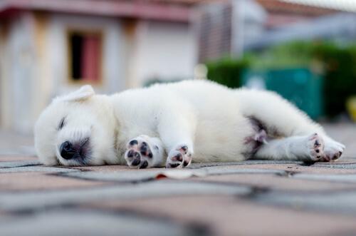 Köpeğiniz Nasıl Uyumalı?