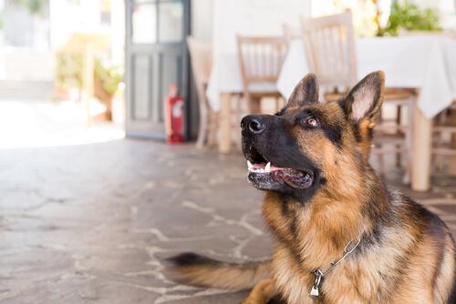 sahibini dinleyen köpek