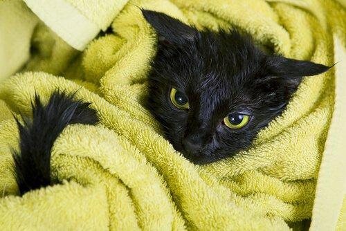 havluya sarılmış yavru kara kedi