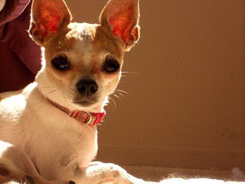kırmızı tasmalı küçük köpek