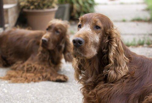 yaşlanmış köpek