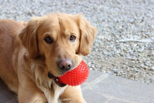 Yavru Köpeğim Ne Zaman Yetişkin Bir Köpek Olur