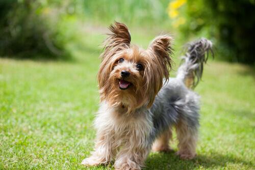 Yorkshire Terrier: Büyük Karakterli Küçük Köpek