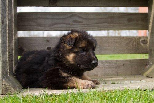 Alman Çoban Köpeği Yetiştirmek İle İlgili Her Şey