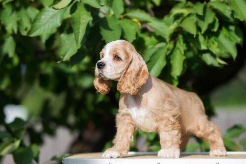 sarkık kulaklı köpek