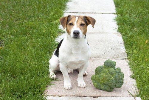 Köpeğinize Brokoli Yedirmek