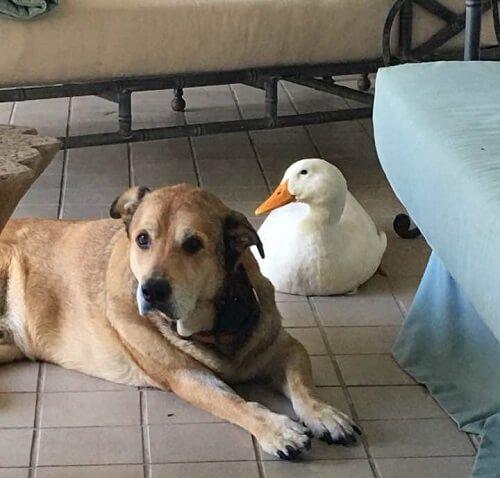 ördek ve köpek