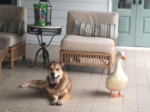 Bir Köpeğin Ördek İle Olan Arkadaşlığı Depresyonuna İyi Geldi