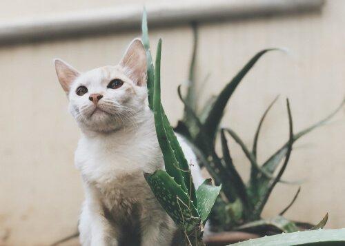 Evcil Hayvanlar İçin Aloe Vera Faydalı Mıdır?